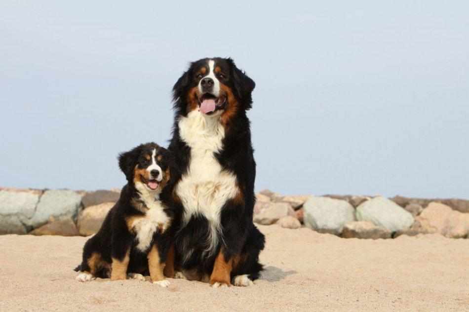 Бернские зенненхунды: взрослый и щенок фото