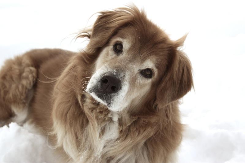 Дрессировка старой собаки фото