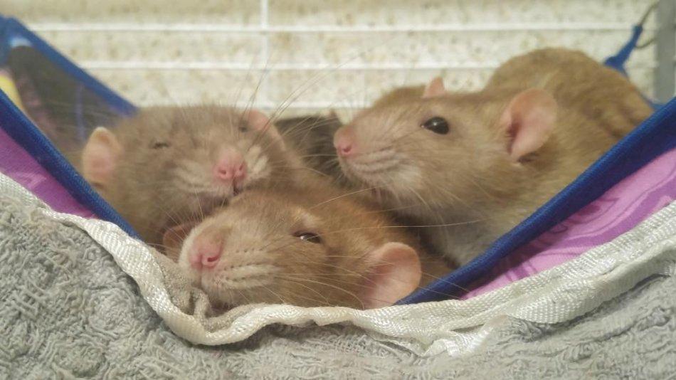 Крысы спят в гамаке