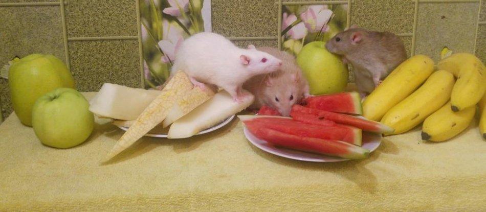 Декоративные крысы едят
