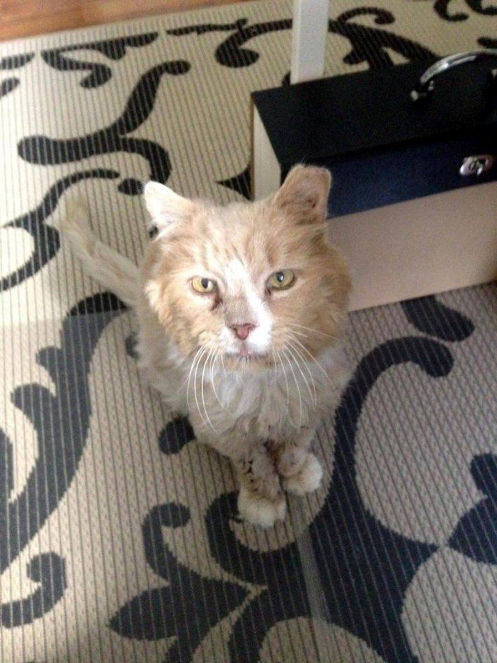 кот,кошка,питомец,домашнее животное,приют,волонтеры