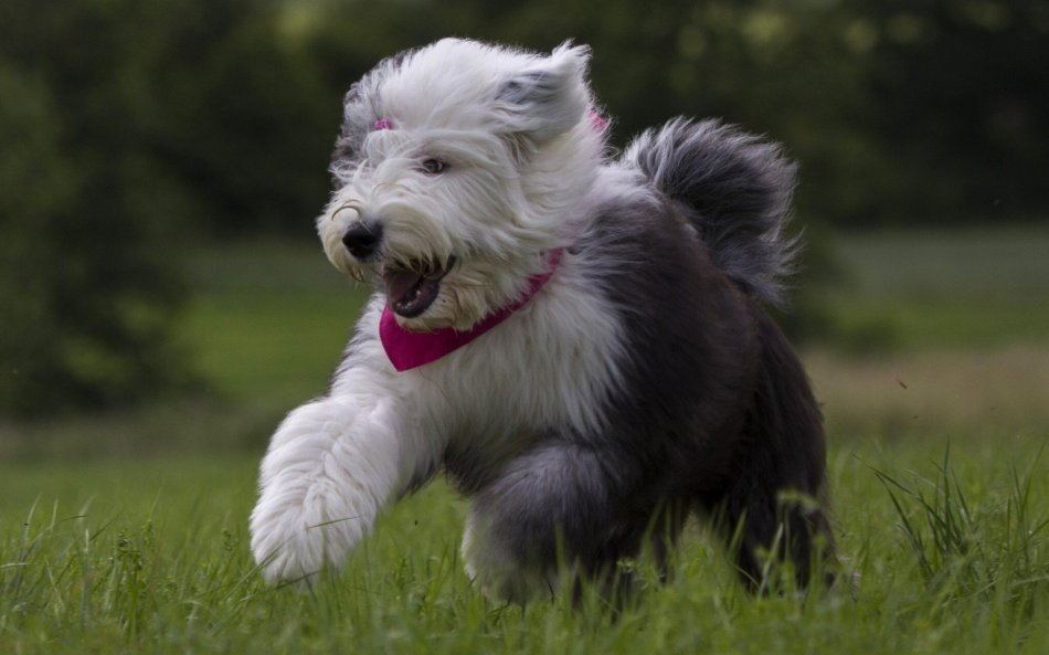 Бобтейл собака фото