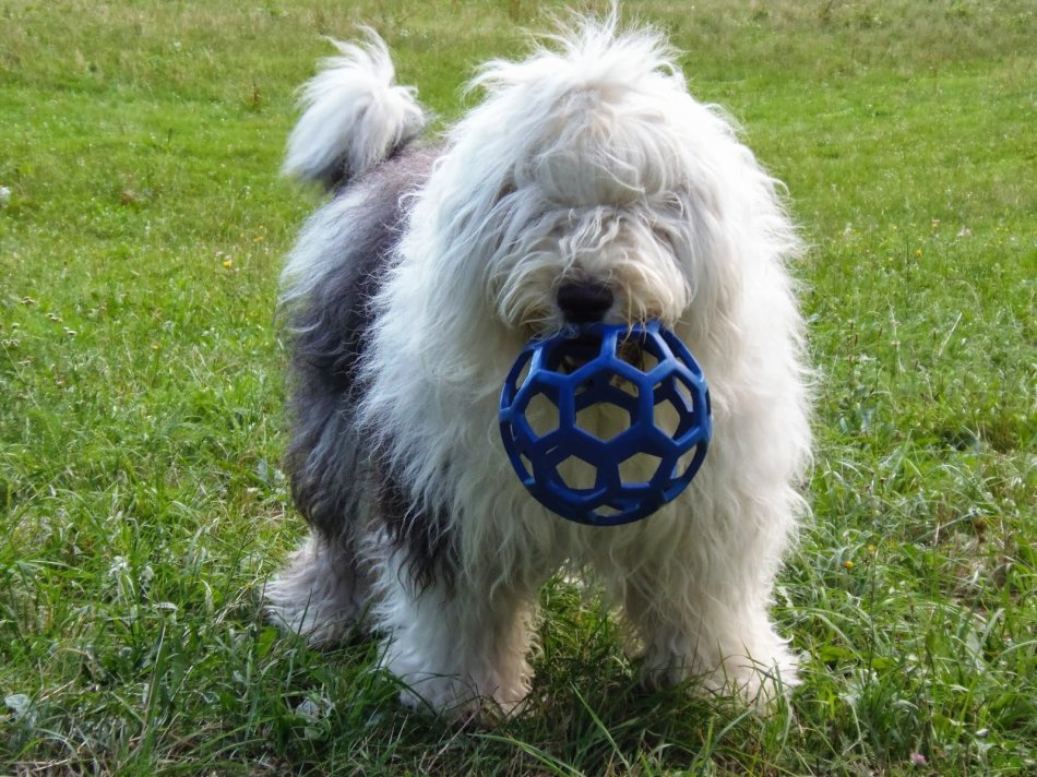 Бобтейл собака с мячиком фото