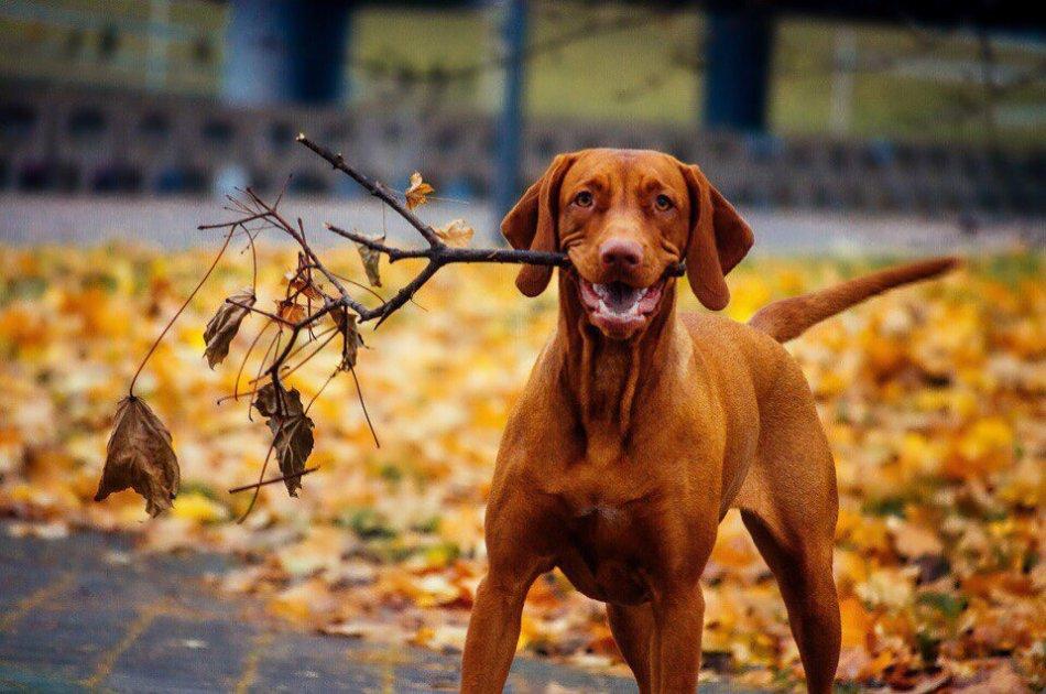 Венрегская выжла осенью