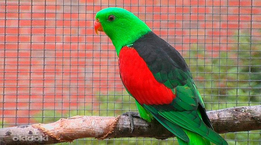 краснокрылый попугай в клетке