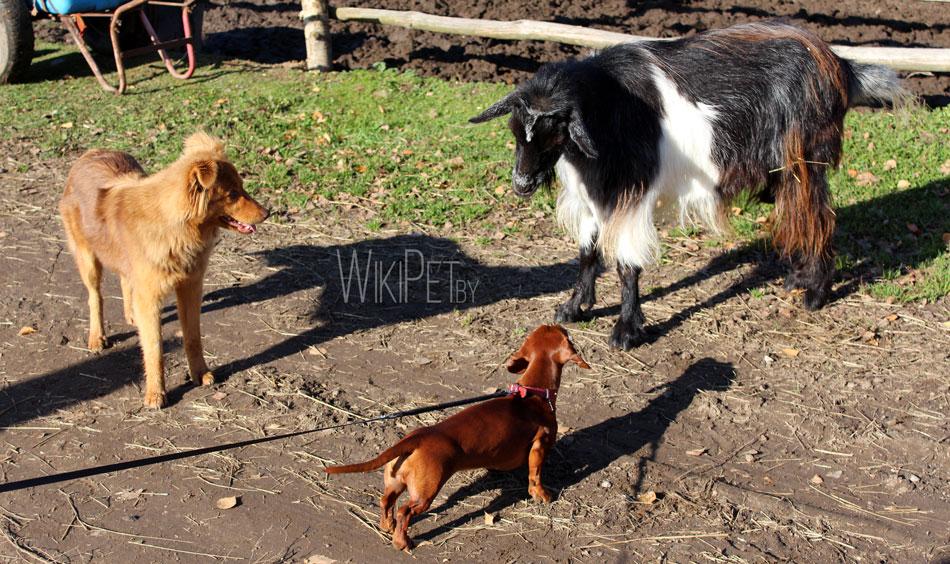 Козел и собаки фото