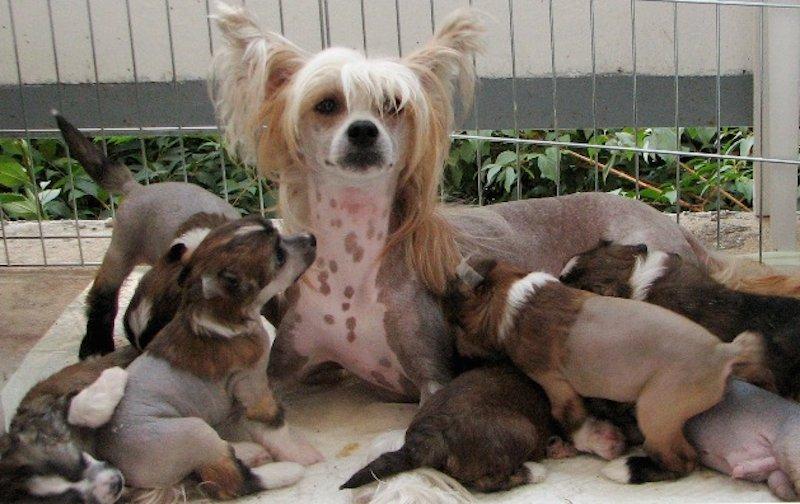 Китайская хохлатая и щенки фото