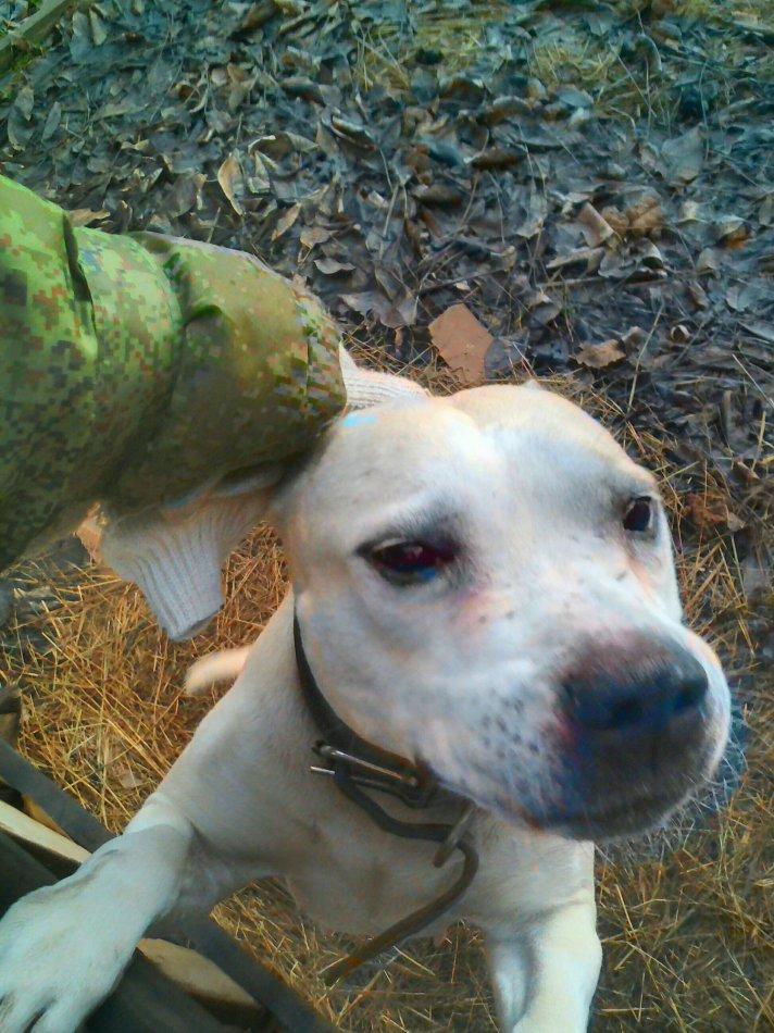 собака,пес,питбуль,приют,требуется помощь