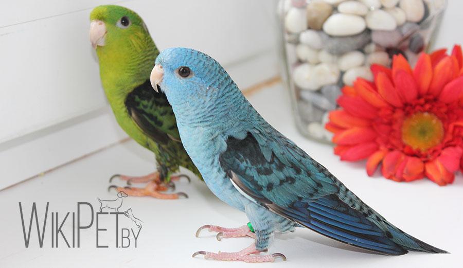 два толстоклювых попугая Катерины