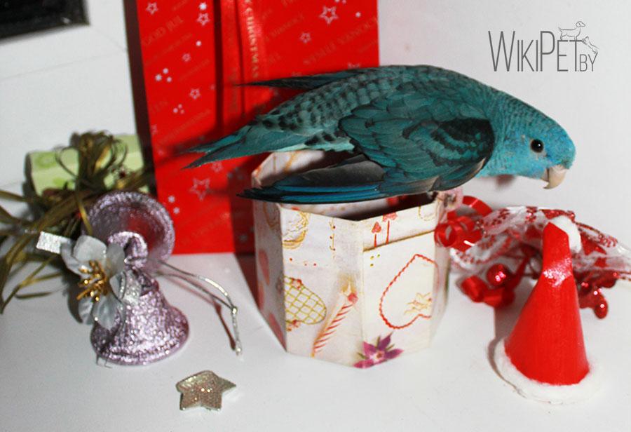 Толстоклювый попугай Катерины среди подарков