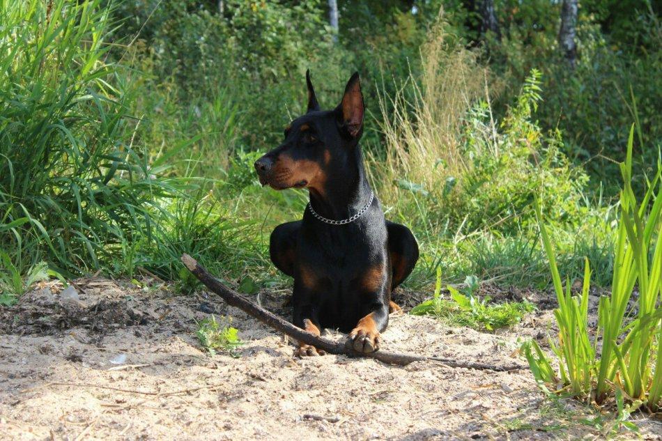 доберманы, домашние животные, животные, википет, блог
