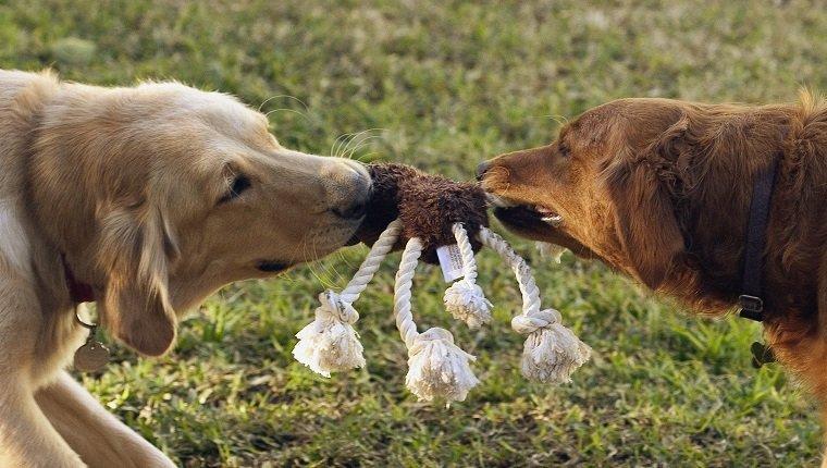 Собаки рычат друг на друга в игре фото