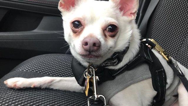 собака,пес,чихуачуа,помощь