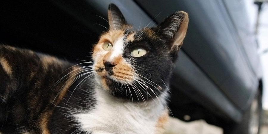 Американская жесткошерстная кошка фото