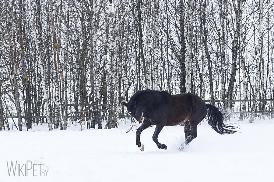 Черный конь в снегу
