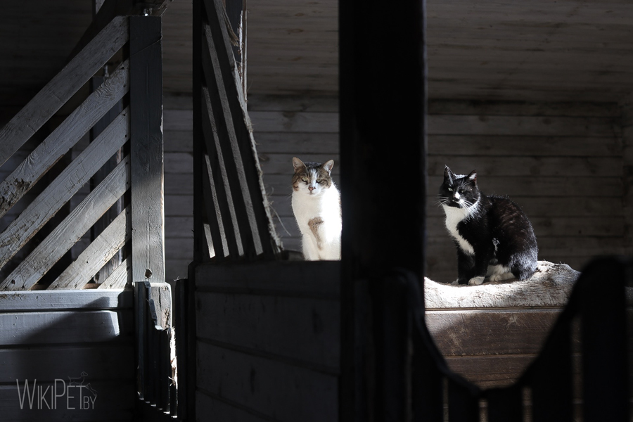 Черный и белый коты