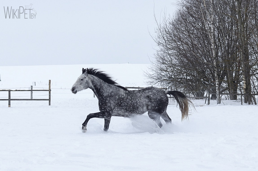 Серый пятнистый конь