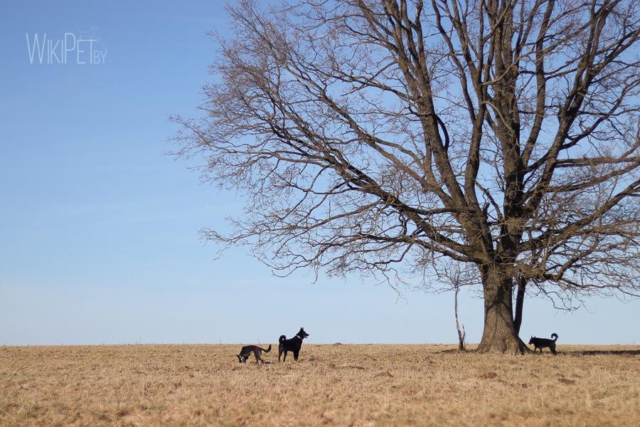 Черные овчарки