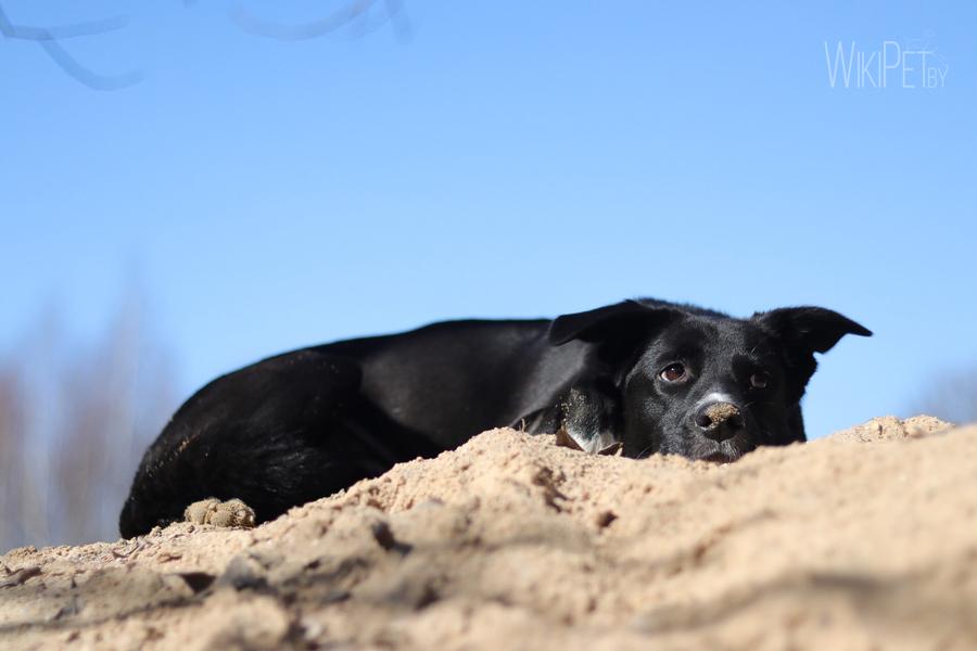 Черная собака лежит