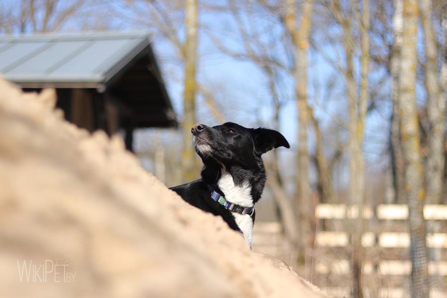 Черная собака с белой грудкой