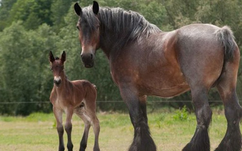 Лошадь породы брабансон с жеребенком фото
