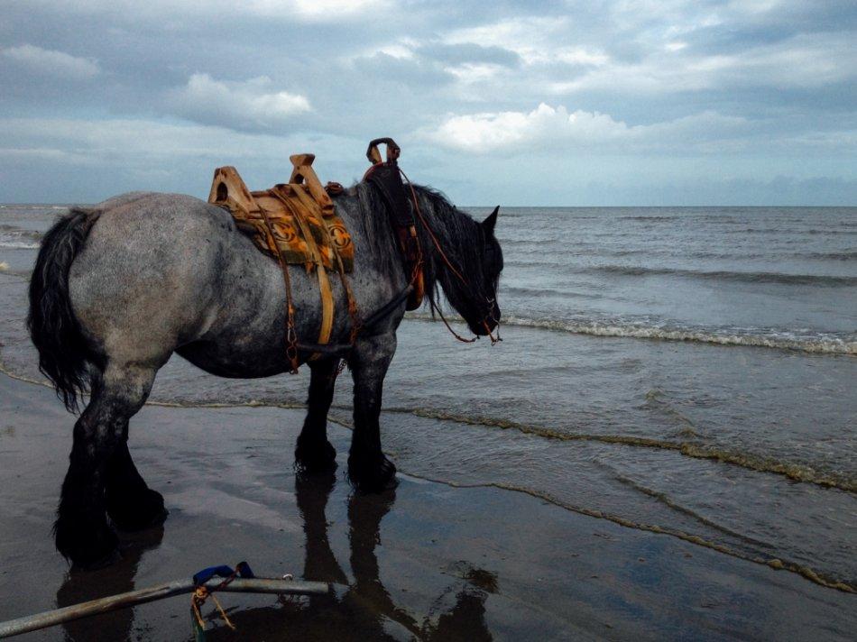 Лошадь породы брабансон фото