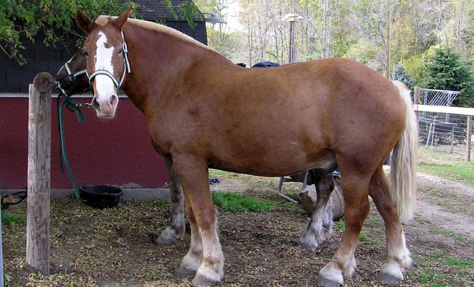 Брабансон лошадь рыжей масти