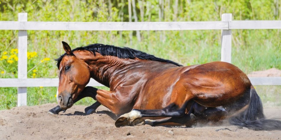 Заворот и спутывание кишечника у лошади фото