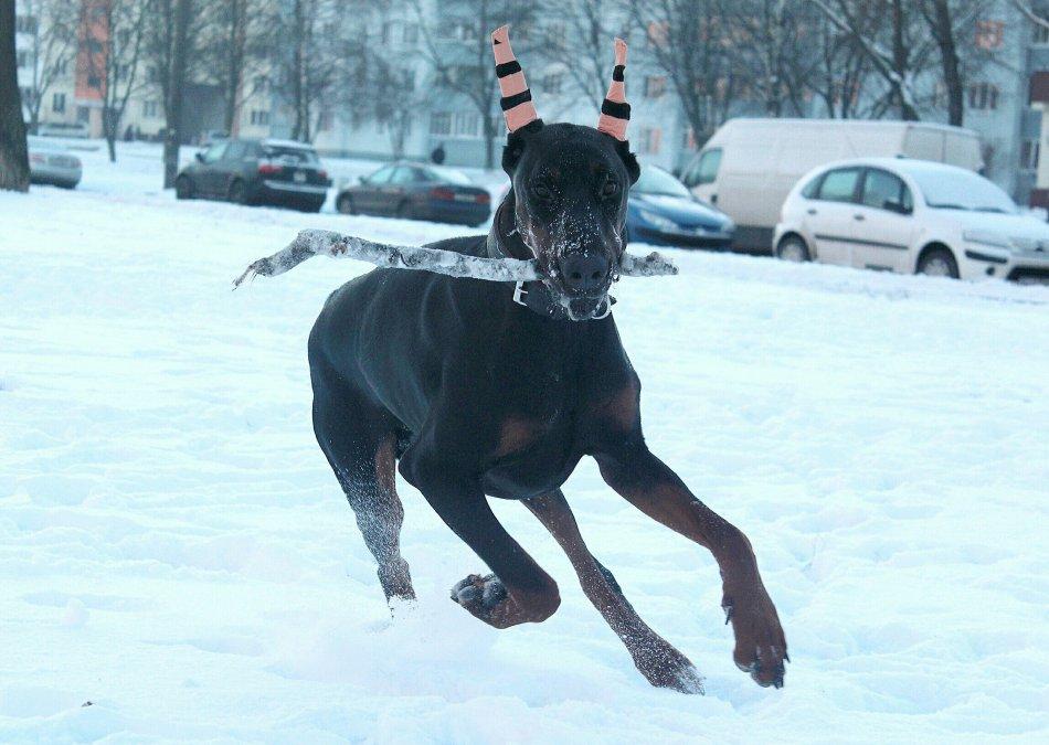 доберман, собака, домашнее животное