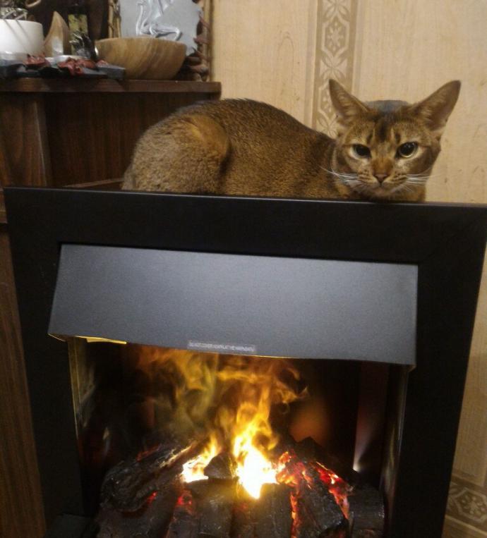 кот,кошка,питомец,абессинка,абессинская кошка,камин