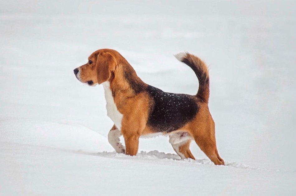 Бигль в снегу фото