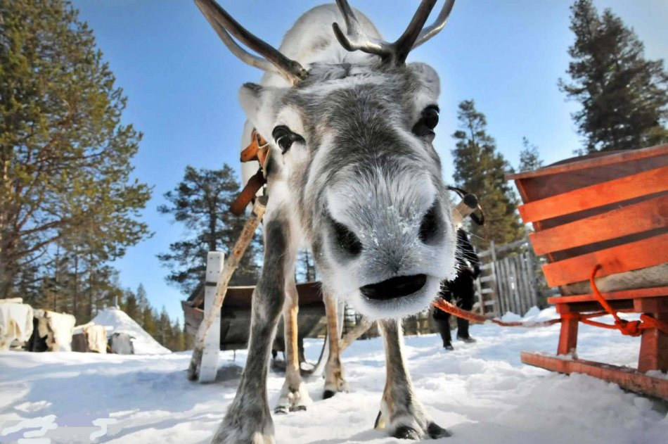 финляндия, животное, домашнее животное, дикое животное, лось