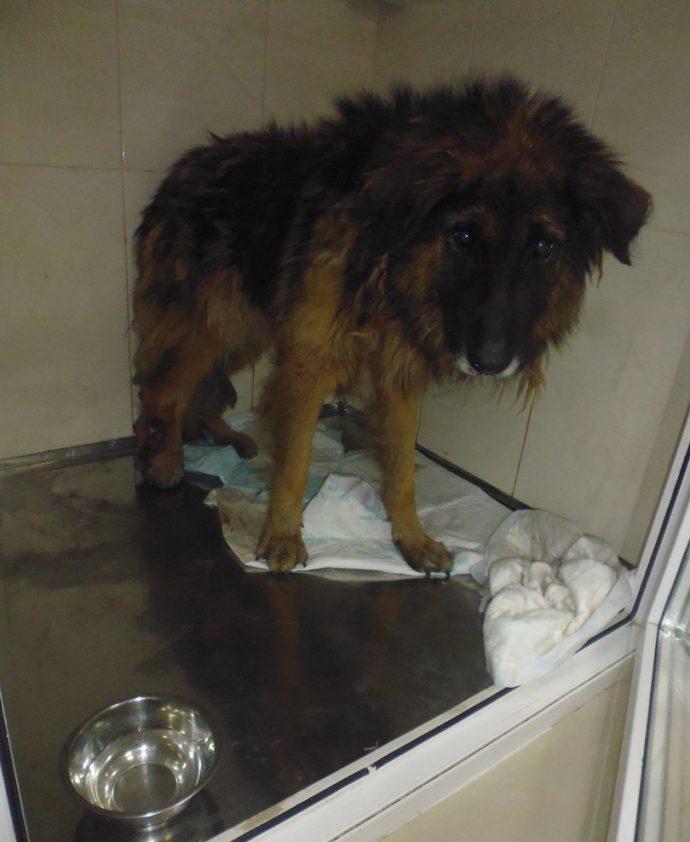 собака,пес,домашнее животное,приют,ветклиника,пес,требуется помощь