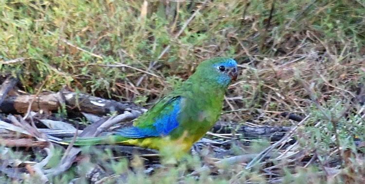 Лазурный травяной попугайчик сидит на траве
