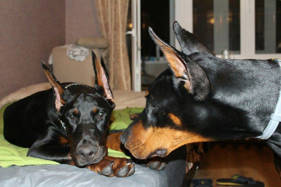 собака, доберман, домашнее животное, дикое животное