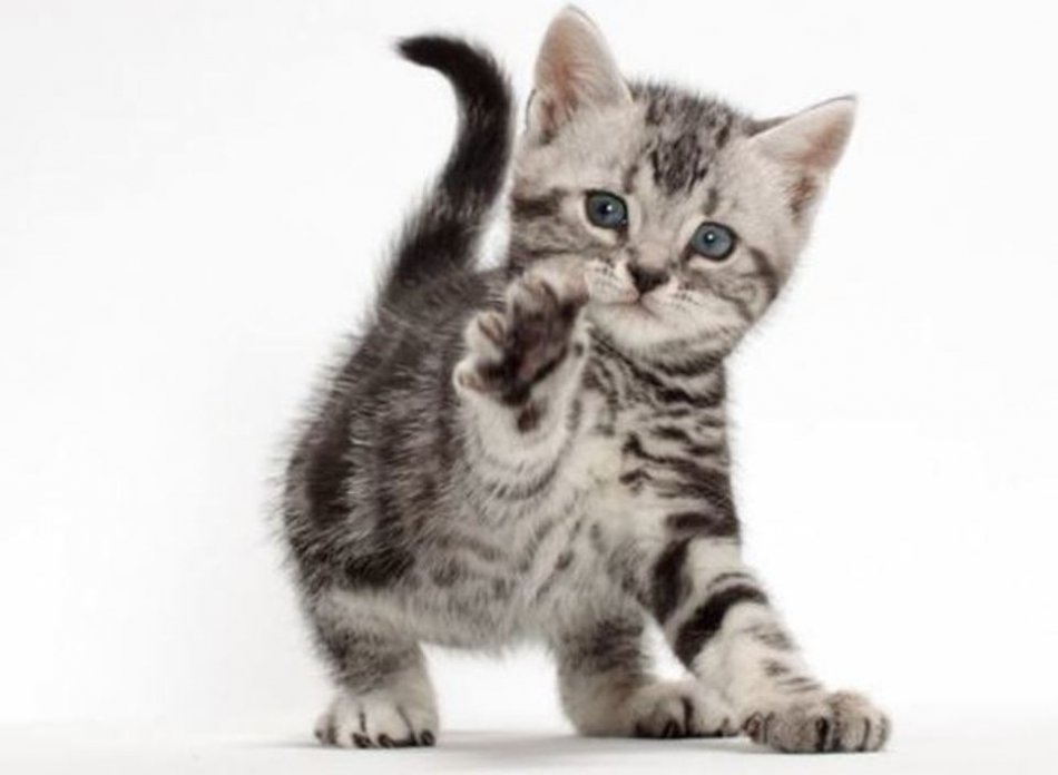 Котенок американской короткошерстной фото