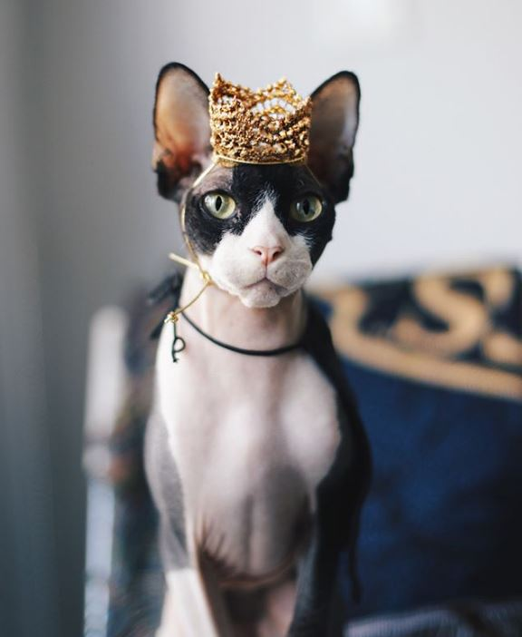 кот,кошка,забавное фото,сфинкс