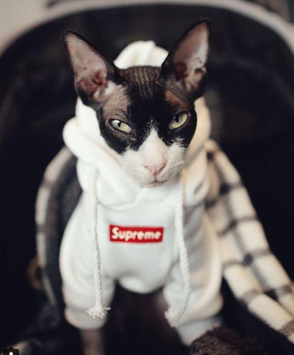кот,кошка,питомец,животное,домашнее животное,взгляд,забавное фото,сфинкс