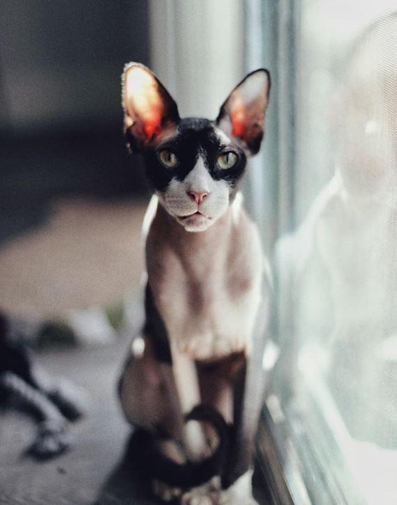 кот,кошка,питомец,бездомное животное,сфинкс,забавное фото