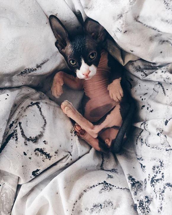 кот,кошка,питомец,сфинкс,забавное фото