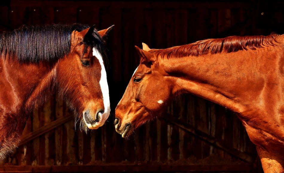 Лошади нюхают друг друга фото