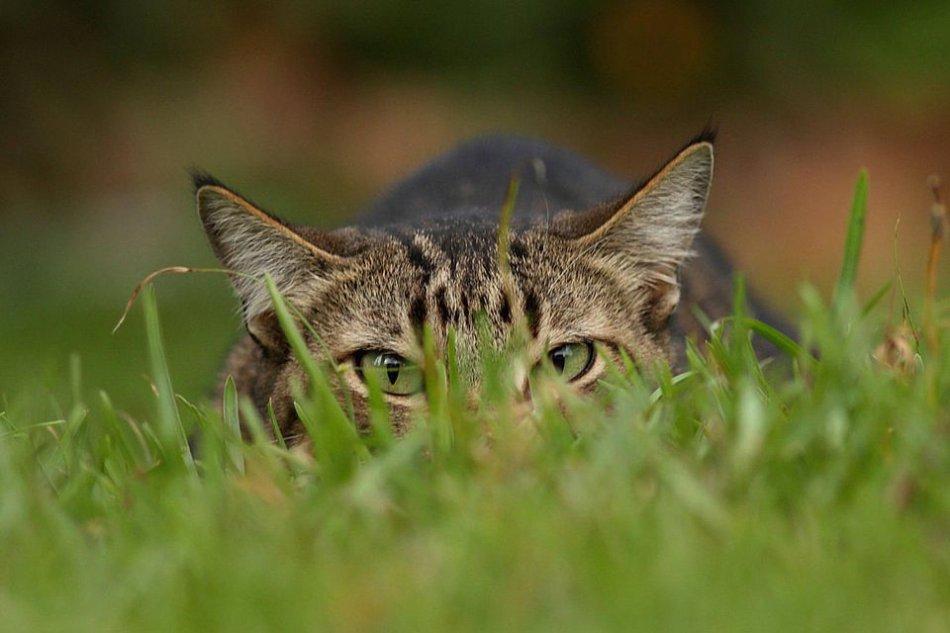 Кошка охотится фото