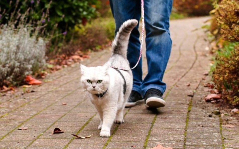 Кошка гуляет на поводке фото