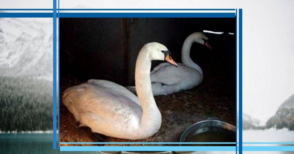 лебедь,белый лебедь,домашнее животное,помощь