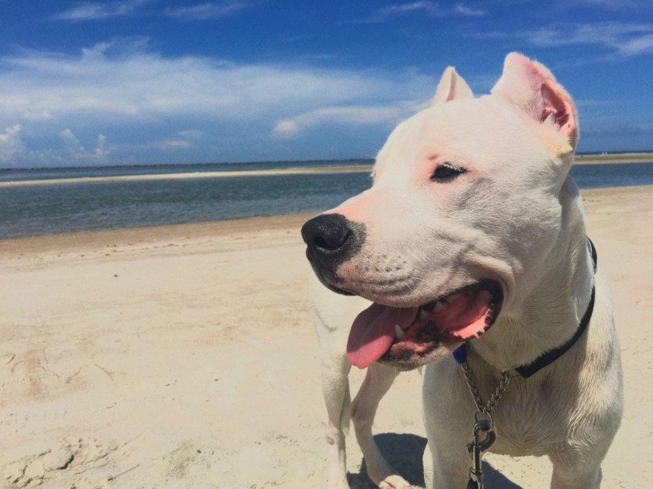Аргентинский дог на пляже фото