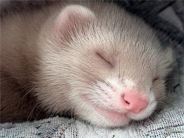 Хорек спит фото
