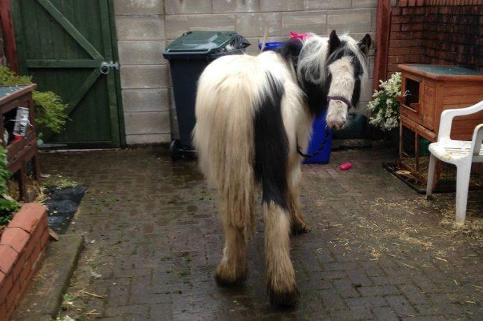 пони,лошадь,домашнее животное,требуется помощь