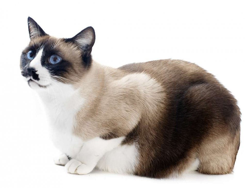 Кошка сноу шу фото