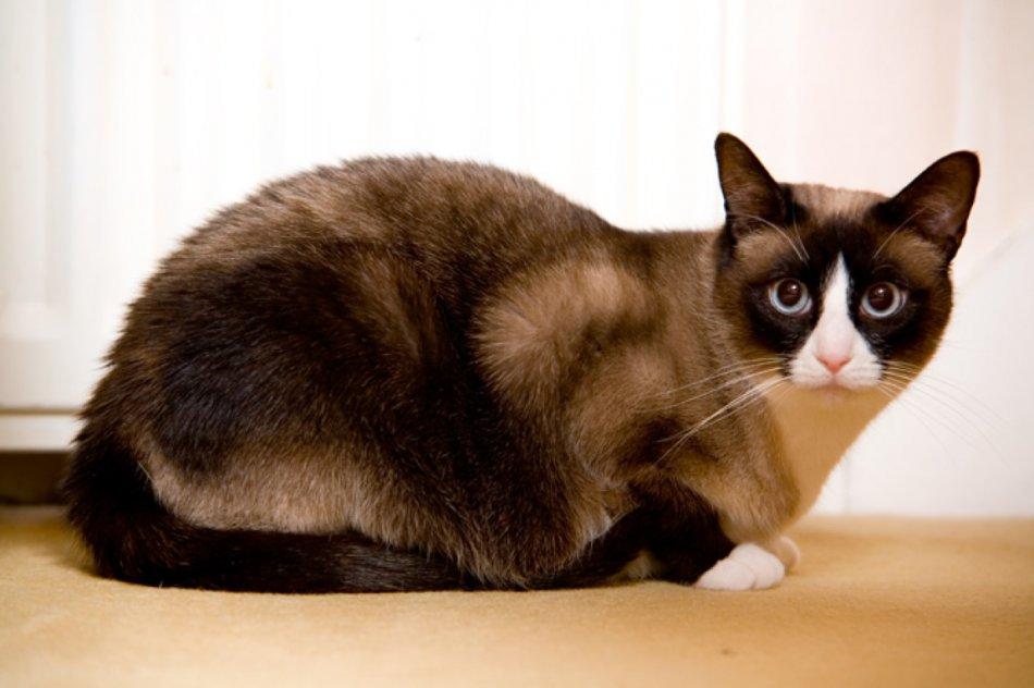 Кошка породы сноу шу фото