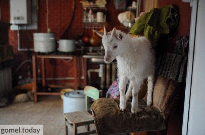 козлёнок, домашнее животное, дикое животное